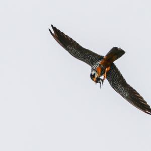 チゴハヤブサ飛翔
