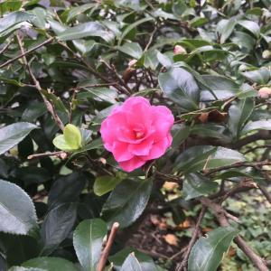 2019.11.16 一日一季語   寒椿(かんつばき)【冬―植物―初冬】