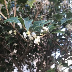 2019.12.5 一日一季語 柊の花(ひひらぎのはな)   【冬―植物―初冬】