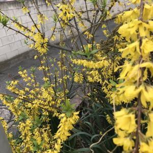 2020.4.2一日一季語 連翹(れんぎょう《れんげう》)  【春―植物―仲春】