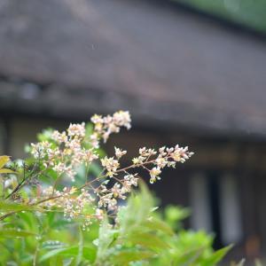 2020.6.17一日一季語  南天の花(なんてんのはな) 【夏―植物―仲夏】