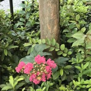 2020.7.26一日一季語 百日紅(さるすべり)  【夏―植物―晩夏】