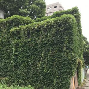 2020.7.27一日一季語 青蔦(あおつた《あをつた》)  【夏―植物―三夏】
