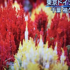 2020.10.20   一日一季語 鶏頭(けいとう)  【秋―植物―三秋】