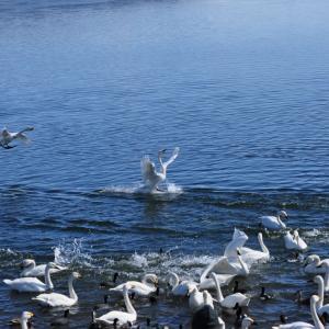 2021.1.20 一日一季語 白鳥(はくちょう《はくてう》)   【冬―動物―晩冬】