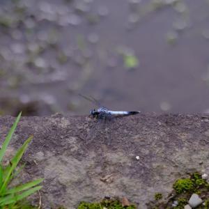 2021.9.23 一日一季語 蜻蛉(とんぼ)  【秋―動物―三秋】