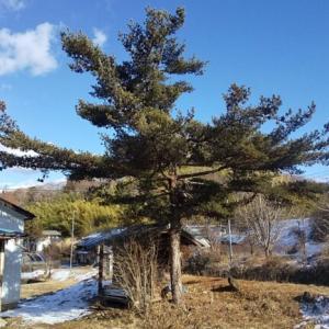 庭の整備@松の木との闘いが勃発