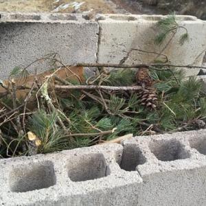 庭の整備@生木の松を燃やしてやるぜ!