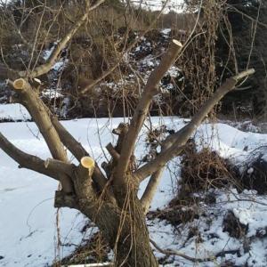 庭の整備@今度は桑の木との勝負