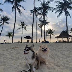 シンガポール チワワ2頭と日本へ帰国する手順 狂犬病予防は毎年必ず期限内に