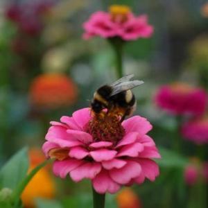 マルハナバチ花から花へ