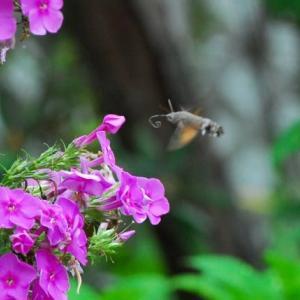 盆花にホシホウジャク