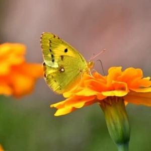 マリーゴールドと蝶々