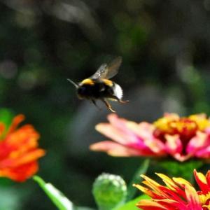 飛ぶマルハナバチ