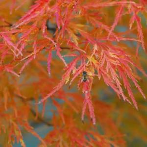 紅葉した枝垂れモミジ