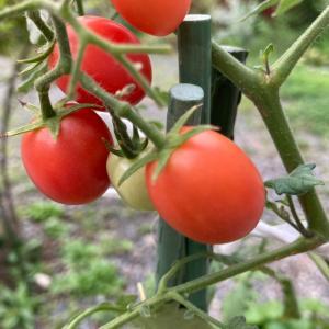 毎日トマトを食べています