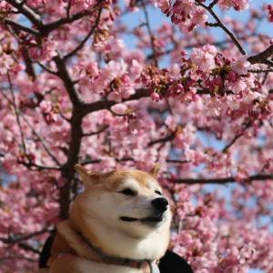 河津桜🌸とシロちゃん👮