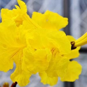 イペーの花満開