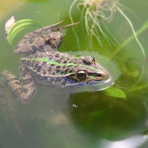 カエル泳ぎ
