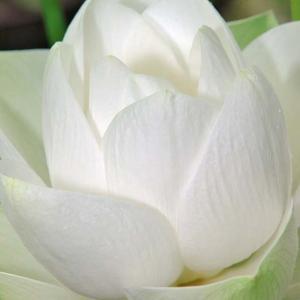 真白き蓮の花