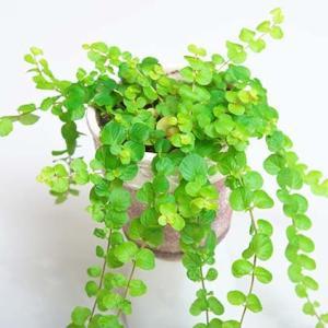 鉢で育てている植物たち