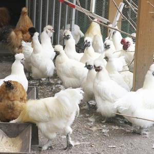 烏骨鶏の庭から-3