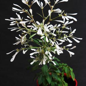 白雪姫の花