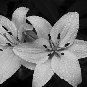 雨の白百合