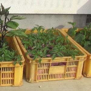 野菜の苗を買ってきた。