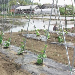 野菜の苗 植えました。