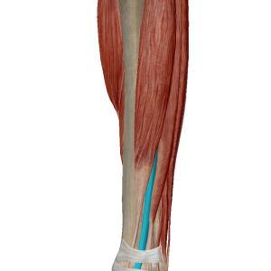 足の甲が痛む障害②~長母趾伸筋腱腱鞘炎