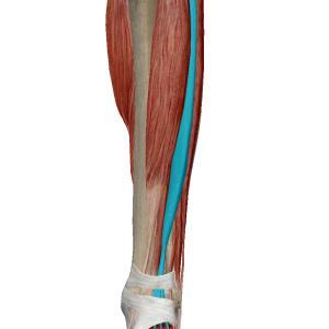 足の甲が痛む障害~長趾伸筋腱腱鞘炎