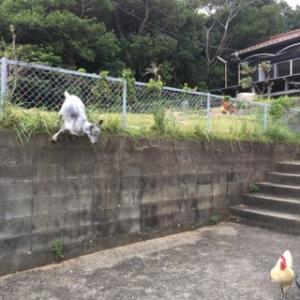 飛び降りるヤギちゃんと驚く前のシロちゃん