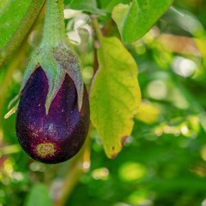 今が仕込み時!旬の茄子と赤紫蘇で作る発酵食『生しば漬け』