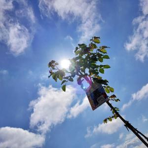 【園芸】ついに発見!葉山椒 &激辛なんばん・大葉・バジル・トマト苗【プランタ栽培】