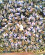 ミツバチを飼ってみよう