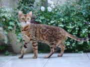 豹柄ネコ ベンガル ♪