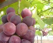 ぶどう・ブドウ・葡萄