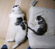 いつのまにかデブ猫