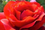 花(バラ)大好き仲間と韓流大好き仲間集まれ