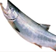 サケ釣り(さけ・鮭)