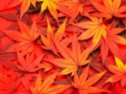秋の紅葉、黄葉、褐葉