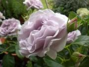美しい花色