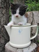 ハチワレ猫(タキシード猫)倶楽部