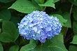 お気に入りの紫陽花