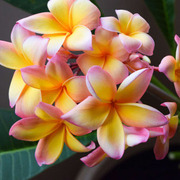 プルメリア・モンステラ・観葉植物の育て方