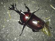 湘南で昆虫採集
