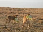 アフリカの野生動物とサファリ、特にネコ科