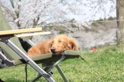 オートキャンプ with わんこ(ダックス)