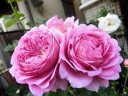 薔薇 薔薇 薔薇の魅力